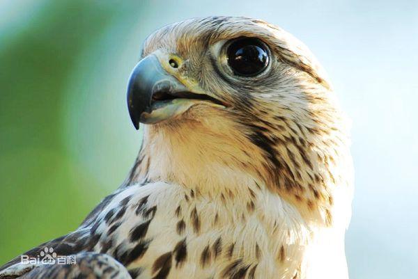 迪拜王子沙特携20只宠物猎隼上飞机